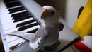 Сockatiel singing My Neghbor Totoro Попугай корелла поет саундтрек Мой сосед Тоторо