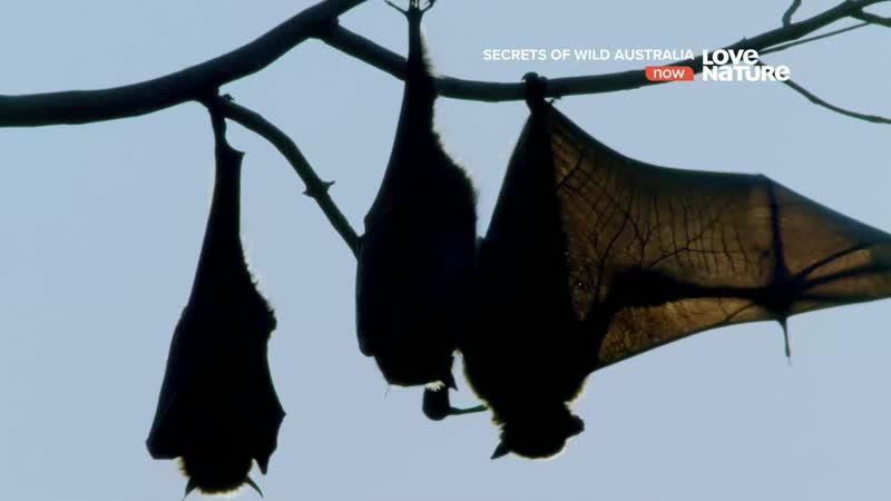 Тайны дикой природы Австралии Летучие лисицы s01e04 1080p
