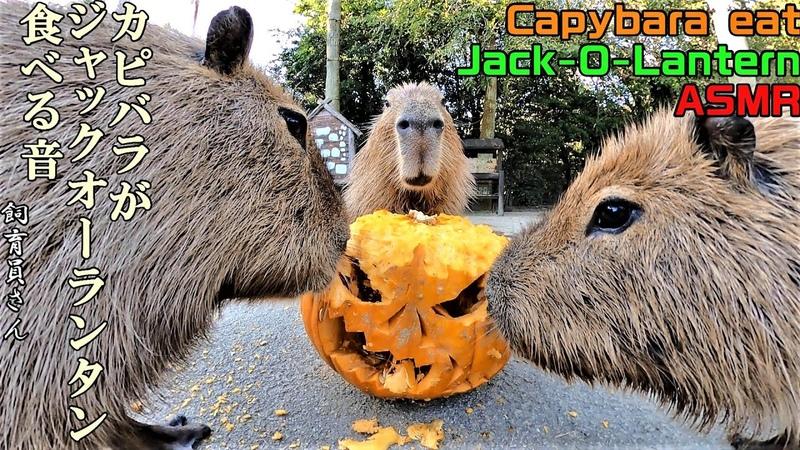 カピバラがジャックオーランタン食べる音 Capybara eat Jack O Lantern ASMR