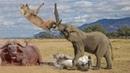Chúa Sư Tử Sợ Khiếp Vía Cô Hồn:hươu , trâu rừng , voi - Cuộc giải cứu bạn tình hấp dẫn được ghi lại