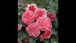 обрезка почвопокровных роз, питомник роз полины козловой, интернет магазин саженцев роз