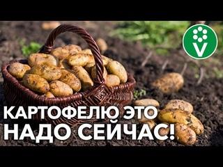 УРОЖАЙ КАРТОФЕЛЯ БУДЕТ БОЛЬШЕ, если сделаете так в августе! Всё об уходе за картофелем в конце лета!