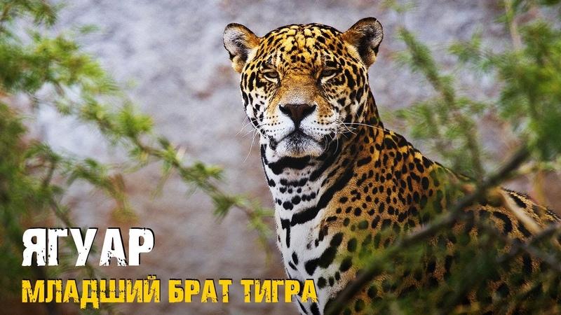 ЯГУАР В ДЕЛЕ Самый Опасный Хищник Амазонии @Узнай Животных
