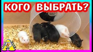 ВЫБИРАЕМ ХОМЯКА / ГДЕ купить ХОМЯЧАТ от Пепси? / Хомки Кэмпбелла / Alisa Easy Pets