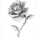 drawings of roses - 736×882