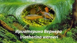 Ириатерина Вернера / Iriatherina werneri #ИриатеринаВернера#Iriatherina#рыбкидлятравника
