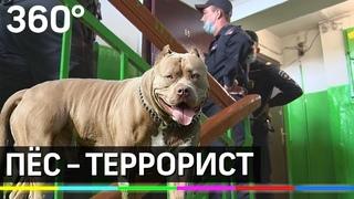 В заложниках у стаффа: бойцовский пёс покусал хозяев и удерживал их в квартире