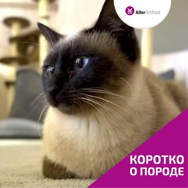 сиамская кошка.mp4
