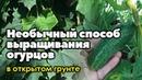 Необычный способ выращивания огурцов в открытом грунте.