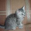 Продаются котята шотландской вислоухой кошки