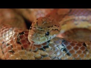 BBC Жизнь с холодной кровью. Удивительные змеи