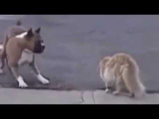 Поединок здоровенного котяры и пса, супер прикол))