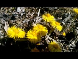 Весна пришла раньше срока Мать-и-Мачеха и пчела