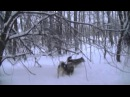 охота с лайками на кабана часть 10