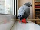 Попугай Поющий песню Ани Лорак- расскажи