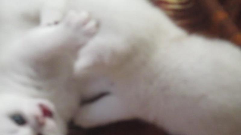 Котята британской серебристой шиншиллы.