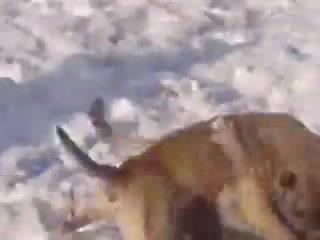 Питбуль против волка