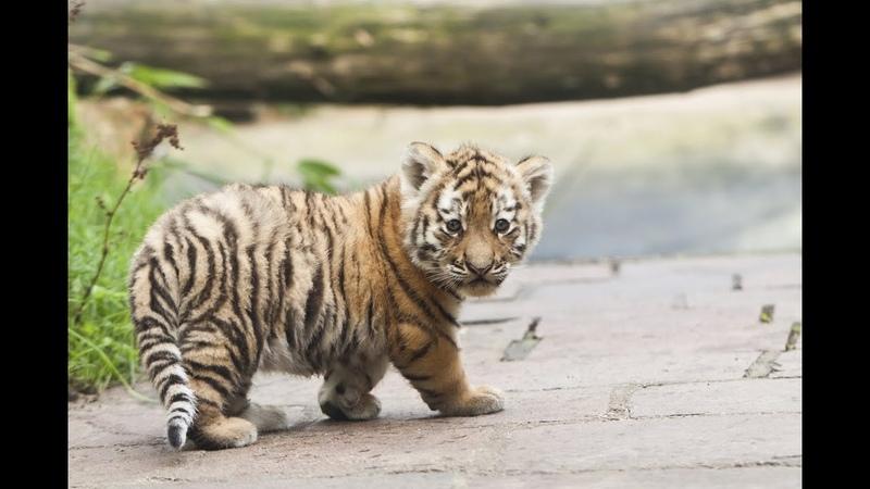 De tijgerwelpjes spelen voor het eerst buiten in DierenPark Amersfoort Lange versie