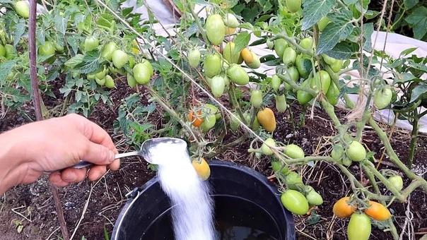 Дайте томатам в Августе соль