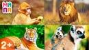 Развивающий мультик - учим звуки диких животных / Для самых маленьких / Карточки Домана со звуками