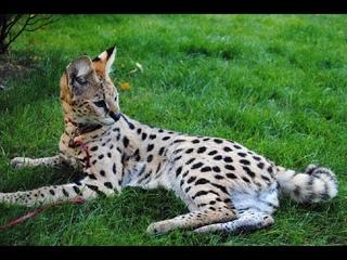Домашний сервал - самая экзотическая кошка