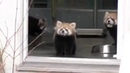 Hilarious Video Of Baby Red Panda Being Startled By Zoo Keeper reddit