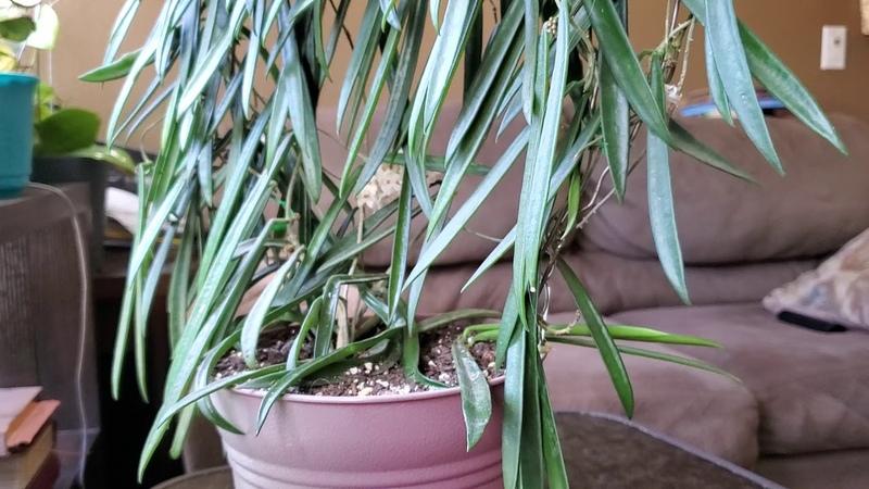 Hoya Sheperdii blooming Цветените Хойя Шеперди