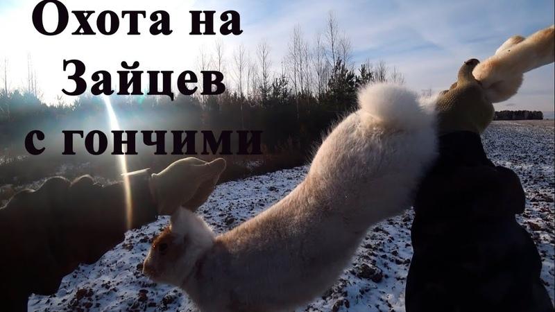 Охота на Зайцев с гончими 2020 Молодой выжлец Бархан раскрывает свои умения Кировская область