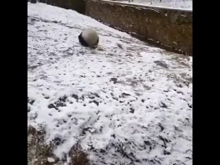 Панда катится с горки