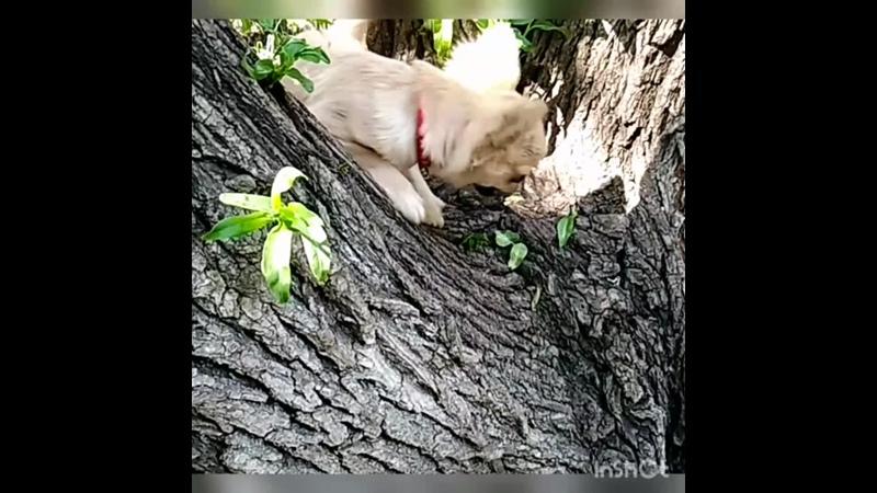 Любопытная 🌻ВаРвАрА🌻 Шан Сайн 💮ЖУСТИНА 💮 теперь это наше любимое занятие лазать по деревьям 🌳😂🌳 sharmljutimkennel