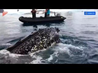 Гигантский кит вплотную подплыл к лодке с туристами в Антарктике