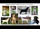 Миф о вязке для здоровья собаки