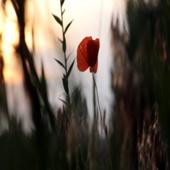 Footage Full HD (футаж) - Flower Red