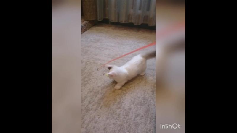 Котенок манчкин Vilet