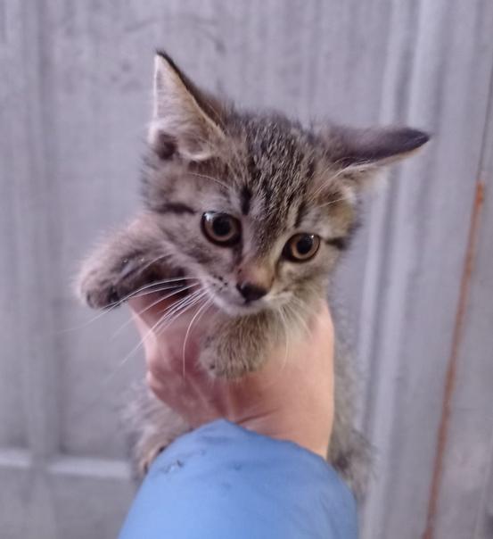 Котята, возраст около 2 - 2,5 месяцев. Один котик ...