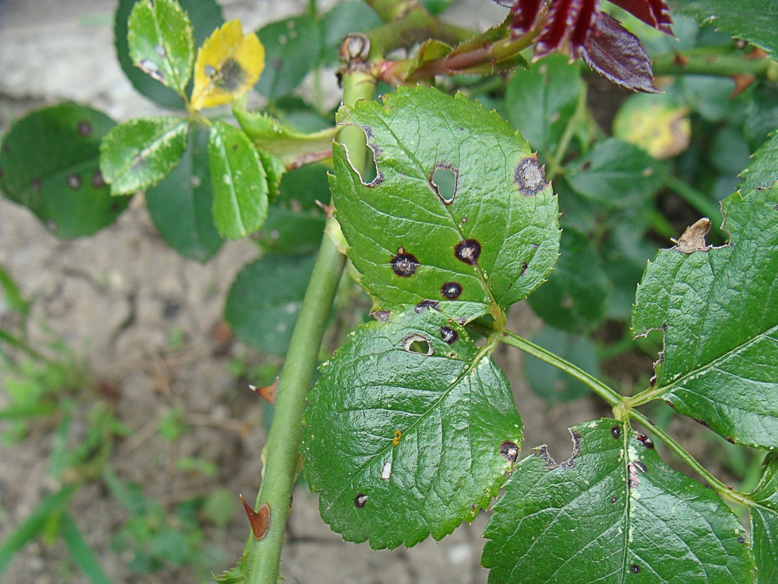 Борьба с инфекционными болезнями роз, изображение №6