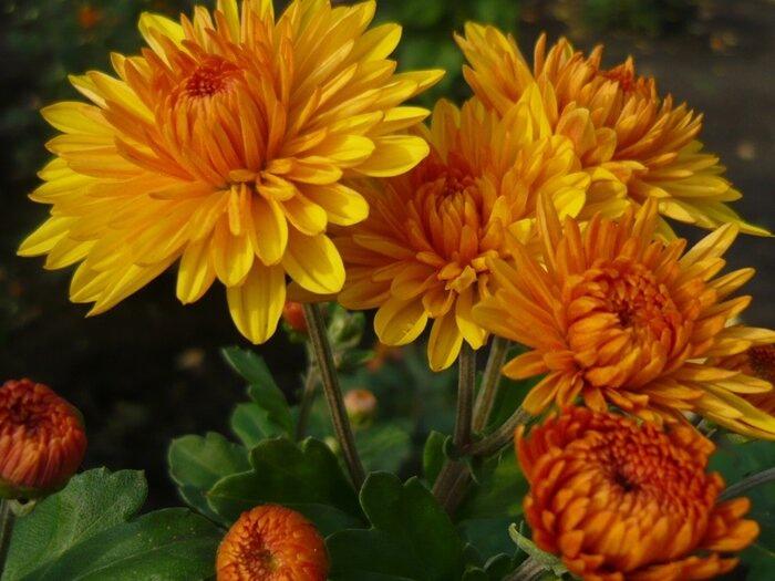 Золотой цветок осени - хризантема