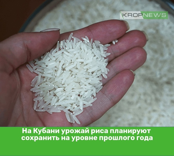На Кубани урожай риса планируют сохранить на уровн...