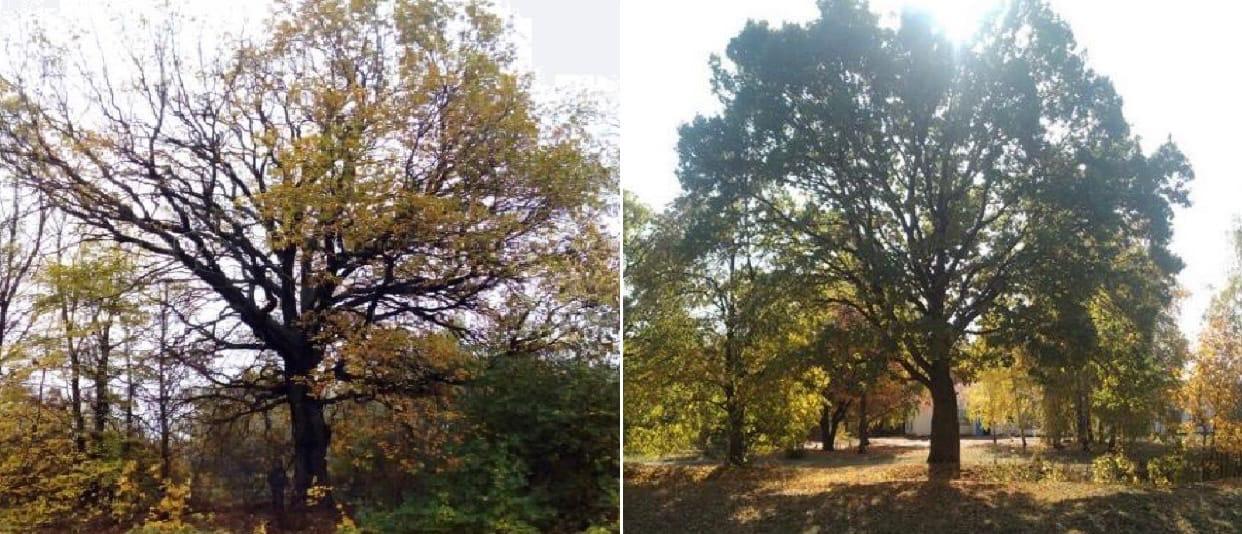Два тамбовских дуба внесли реестр старейших деревьев России