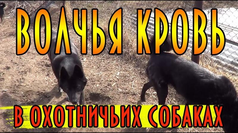 Волчья кровь в охотничьих собаках домавместе